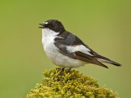 Oh what a beautiful morning - Pied Flycatcher by Jamie-MacArthur