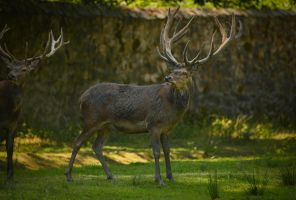 Deer 14 by Lakela