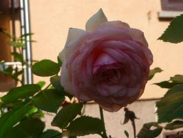 Rosy rose by ithilwenia