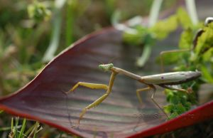 Praying Mantis by Tuesdaysangel