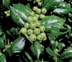 Holly berries 8.1 by marshwood