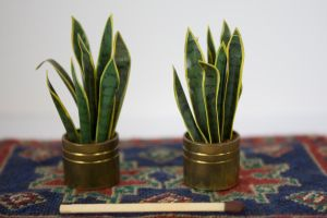 Dollshouse Sansevieria by SarahharaS1