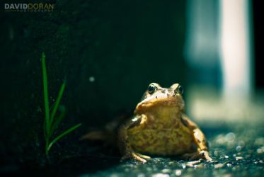 Common Frog by Dave-D