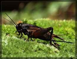Cricket 40D0017629 by Cristian-M