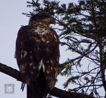 The Resting Eagle by wolfwings1