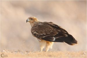 Eastern Imperial Eagle by ClaudeG