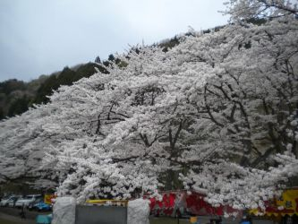 Sea of Cherry Blossoms by Redgreed