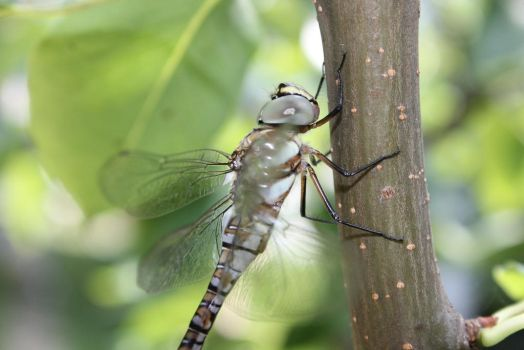 dragonfly by andreea09