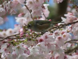 silvereye with blossoms by kiwipics
