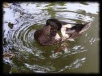 Park duck by MichalG