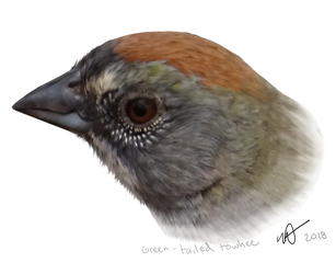 Green-tailed Towhee by MF99K
