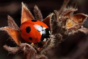 7-Spot Ladybird on Potentilla by oneofakindo