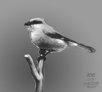 Great Grey Shrike by wolfgryph