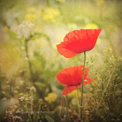Poppies by Ant0nette