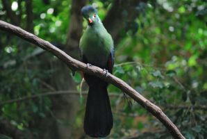 white-cheeked turaco 1 by meihua-stock
