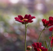 red flowers by Pamba