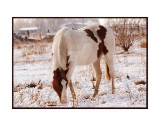 Red White Paint Horse Snowy 1 by houstonryan