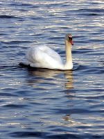 Swan by e-s-d