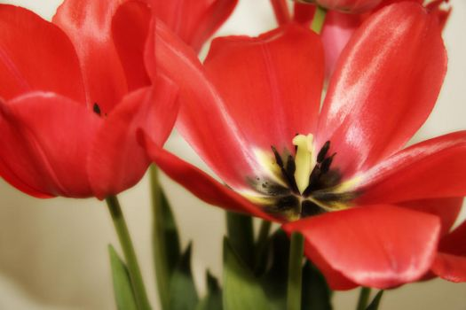 Winter Tulips by itzjaysen
