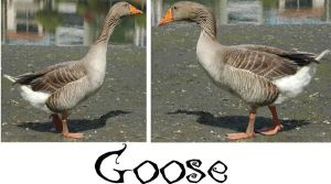 Goose-Stock by Jenifer10