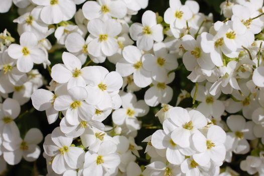 White flowers 4 by SimbaHarley
