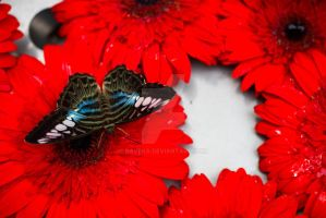 Butterfly on Red Flower by raveka