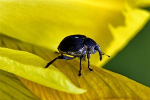 0544 Iris weevil by RealMantis