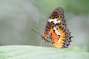 Malay Lacewing 210811 by inckurei
