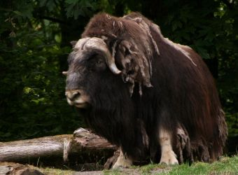 Musk Ox by oOBrieOo