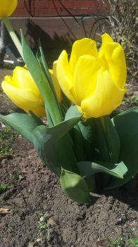 Yellow Tulips 2 by SharkGirl15