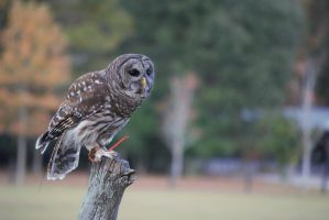 Barred Owl by Mint-Pickles