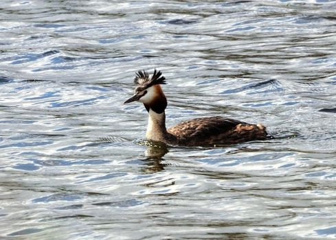 Great Crested Grebe.. by quaddie