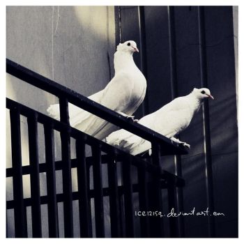Two Doves by ice1215q