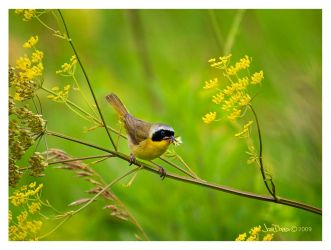 Common Yellow Throat by leavenotrase