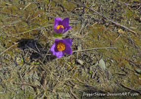 Pasqueflower by DiggerShrew