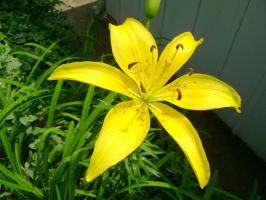 A yellow daylilly by aragornsparrow