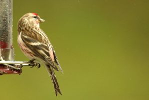 Common Redpoll? by MaresaSinclair