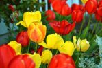 Colorful Tulips by sweetcivic
