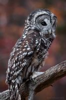 Barred Owl by ryangallagherart