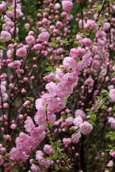 Flowering Almond 1 (05/18) by Karakata