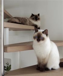 My two adorable Ragdolls: Lizzy and Luna by marijeberting