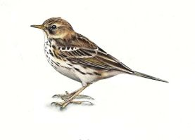 Anthus pratensis - Meadow pipit by SarkaSkorpikova