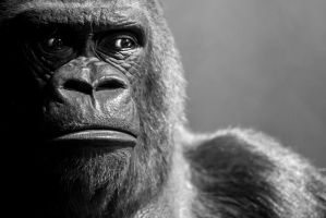 Gorilla 2 by tpphotography
