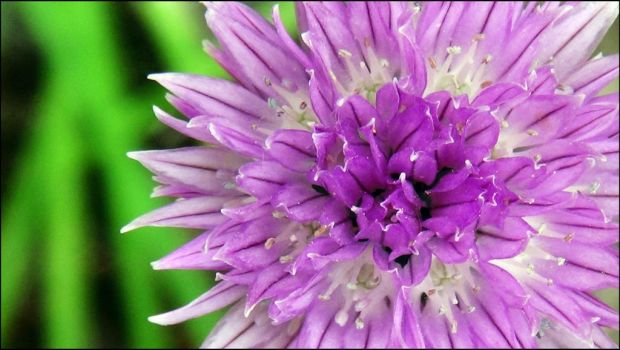 Chives flower 01 by Annick55
