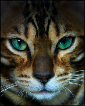 Jagar the Bengal by UffdaGreg