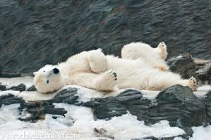 Lazy Polar Bear by amrodel