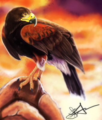 Harris Hawk by ordinaryredtail