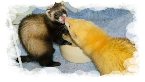 Our Ferrets by Dynamisa
