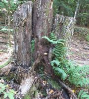 Stump And Fern by seaglasshunter