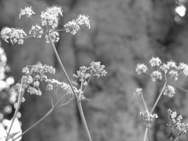 cow parsley by amy-faerie
